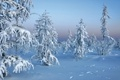 Picture trees in snow, winter, snow, nature, forest, winter