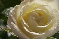 Picture flowers, Bud, petals, Rosa, white, drops, rose