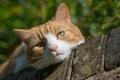 Picture cat, cat, look, muzzle