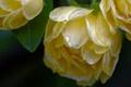 Picture Bud, macro, briar, petals, Rose Banks, drops