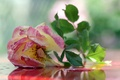 Picture pink, rose, background, tea