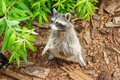 Picture animal, foliage, legs, wool, raccoon, friendly, mooch