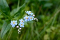 Picture flowers, grass, forget-me-nots, green, blue