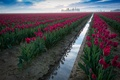 Picture field, the sky, flowers, tulpani