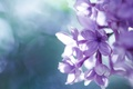Picture flowers, macro, lilac, inflorescence
