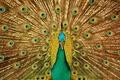 Picture look, bird, patterns, beak, tail, peacock, beautiful