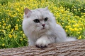 Picture flowers, fluffy, cat