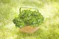 Picture grass, basket, Oxalis, saichia cabbage