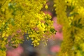 Picture tree, spring, yellow, flowering, flowers, acacia