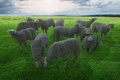 Picture phones, sheep, wire, pasture
