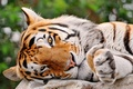 Picture eyes, look, strips, tiger, lies, Big cat, tigr