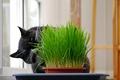 Picture grass, black, Cat