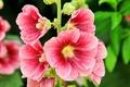 Picture flowers, petals, stem, mallow