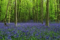 Picture flowers, bells, alley, trees, forest, glade