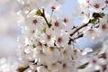 Picture white, branches, Apple blossom