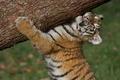 Picture cub, log, The Amur tiger, strongman, tiger, tiger