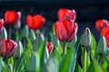 Picture buds, tulips, spring