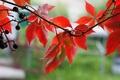 Picture berries, Liana, autumn, Macro, leaves