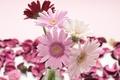 Picture vase, gerbera, flowers, red, white, petals, pink, gerbera
