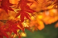 Picture maple, branch, autumn, leaves, nature