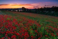 Picture flowers, Spain, Spain, Mendijur, Basque Country, field, Maki, poppy field, sunset