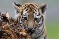 Picture look, tiger, tiger, muzzle, kitty, cub