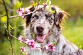 Picture greens, eyes, face, flowers, branches, tree, portrait, dog, spring, garden, flowering, Australian shepherd, Aussie