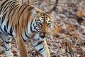Picture nature, tiger, strip, predator