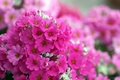 Picture Phlox, pink, flowers, macro, bright