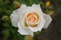Picture rose, white, white, Rose