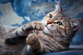 Picture cat, eyes, cat, look, pose, background, blue, portrait, divorce, paws, muzzle, lies, the expression, green-eyed