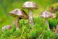 Picture boletus, moss, mushrooms, trio