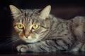 Picture cat, cat, look, black background