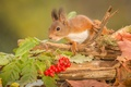 Picture animal, branch, Kalina, rodent, protein, leaves, berries, trunk, autumn