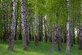 Picture morning, grove, Birch, spring, forest