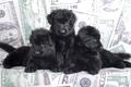 Picture black, puppies, trio, shepherd