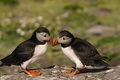 Picture birds, background, stone, blur, pair, boulder, puffin, stubs
