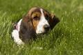 Picture dog, grass, The Basset hound