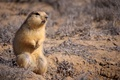 Picture sand, animal, small, sitting, looks, Gopher