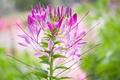 Picture plant, petals, inflorescence, flower, stem