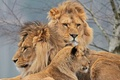 Picture Trinity, lions, lioness, Swedish family