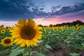 Picture clouds, the evening, Sunflowers, field, summer, the sky, sunset