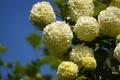Picture macro, white balls, Kalina, inflorescence, Kalina buldenezh