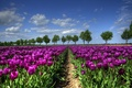 Picture field, trees, spring, tulips, Holland