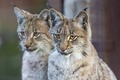 Picture cat, lynx, pair, ©Tambako The Jaguar, face