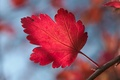 Picture red, macro, sheet, autumn