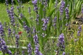 Picture flowers, lavender, nature