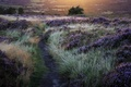 Picture grass, trees, lavender, sun, trail, Flowers