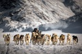 Picture dogs, snow, team