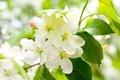 Picture flowers, branch, white, leaves, tree, petals, flowering, cherry, green, spring